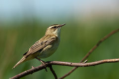 Acrocephalus schoenobaenus, Sedge Warbler. Warbler in a natural habitat. Wildlife Photography Stock Images