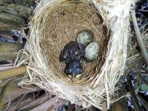 Acrocephalus scirpaceus Das Nest Reed Warblers in der Natur Stockfoto