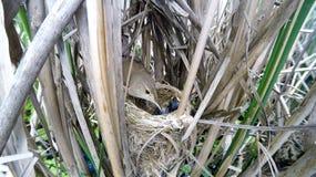 Acrocephalus scirpaceus Das Nest Reed Warblers in der Natur Stockbilder