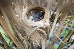 Acrocephalus scirpaceus Das Nest Reed Warblers in der Natur Stockfotografie