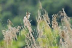 Acrocephalus scirpaceus, eurasischer Teichrohrsängervogel Lizenzfreies Stockbild