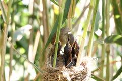 Acrocephalusvogel royalty-vrije stock foto's