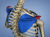 Acromion d'omoplate, modèle 3D Images stock