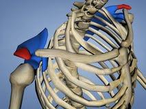 Acromion de l'omoplate M-SKEL-SCAPULA-ACROMION 2, modèle 3D illustration libre de droits