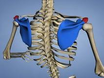 Acromion de l'omoplate M-SKEL-SCAPULA-ACROMION 4, modèle 3D illustration libre de droits