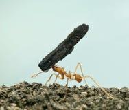 acromyrmex蚂蚁切割工叶子octospinosus 免版税图库摄影