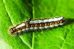 Acronicta P/in Stockbild