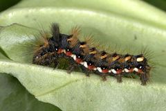 Acronicta rumicis, knot grass. Walking Stock Images
