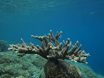 Acropora branching. Clear water hugs a colony of acropora stock images