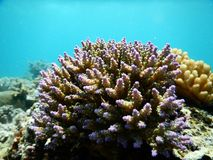 Acropora Clathrata Royalty Free Stock Image