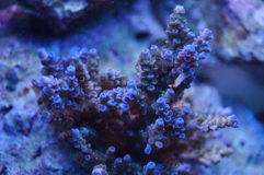Acropora coral. A detail of an acropora coral underwater in the sea Stock Photography