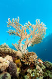 Acropora coral near the surface. A small acropora/staghorn coral grows on a coral reef near the surface stock photography