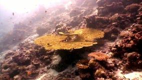 Acropora di corallo duro subacqueo su fondale marino stupefacente in Maldive archivi video