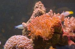 Acropora i millepora korale Zdjęcia Royalty Free