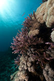 Acropora im Roten Meer. Lizenzfreie Stockbilder