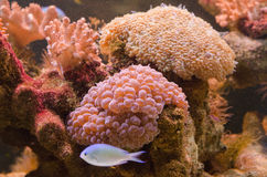 Acropora and millepora corals. Colorful acropora and millepora corals and  marine animals in a tropical aquarium Royalty Free Stock Photo