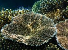 Acropora millepora Koralle Lizenzfreies Stockbild