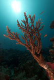 Acropora and sun in the Red Sea. Royalty Free Stock Photos