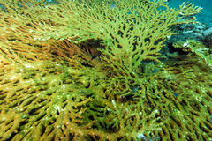 Acropora is a table coral, Royalty Free Stock Image