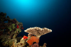 Acropora and tropical underwater life. Stock Photo