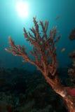 Acropora und Sonne im Roten Meer. Lizenzfreie Stockfotos