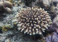 Acroporakoralle in Indoensia Stockfotografie