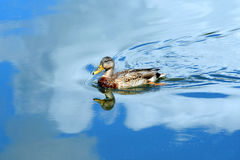 Across a Blue Sky. Blue sky and clouds surround female, Mallard duck as she glides across the tranquil waters of the Yahara River in Wisconsin Royalty Free Stock Photography