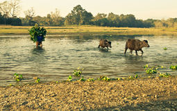 Across the river. Women, shepherd cattleman and her cows are crossing the river. She is bringing a feed for cows on her back. She looks like a shrub or a bush royalty free stock images