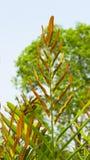 Acrostichum speciosum, the golden leather fern royalty free stock photos