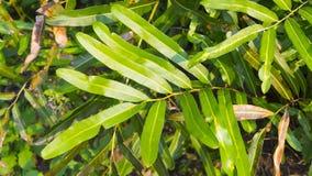 Acrostichum speciosum, the golden leather fern stock photography