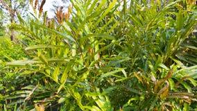 Acrostichum speciosum, the golden leather fern stock image