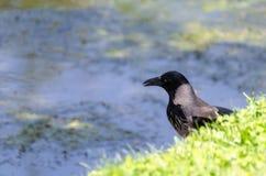Acrow in pursuit of hunting, corvus corone. Acrow in pursuit of hunting.Side view of a Carrion Crow, Corvus corone Stock Photo