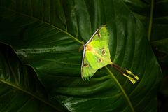 Actias luna, luna moth, beautiful yelow green butterfly from Florida, USA. Big colourful insect nature vegetation, butterfly sitti. Ng on the leave royalty free stock image