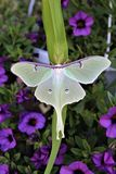 Actias luna, the Luna Moth. Large lime-green Atias Luna, the Luna Moth, Nearctic Saturniid moth on green vegetation royalty free stock images