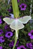 Actias luna, Luna Moth royalty-vrije stock afbeeldingen