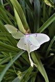 Actias luna, Luna Moth stock foto