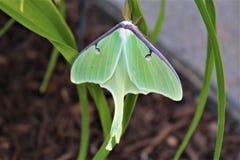 Actias luna, the Luna Moth. Large lime-green Atias Luna, the Luna Moth, Nearctic Saturniid moth on green vegetation stock image