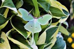 Actias luna, the Luna Moth. Large lime-green Atias Luna, the Luna Moth, Nearctic Saturniid moth on green vegetation royalty free stock image