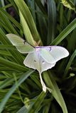 Actias luna, the Luna Moth. Large lime-green Atias Luna, the Luna Moth, Nearctic Saturniid moth on green vegetation stock photo