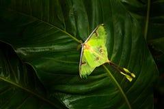 Actias Luna, Luna Motte, schöner yelow Grünschmetterling von Florida, USA Große bunte Insektennaturvegetation, Schmetterling sitt Lizenzfreies Stockbild