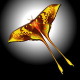 Actias maenas or moon moth Stock Photography
