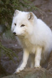 Actic Fox Portrait. Portrait of an Arctic Fox, Vulpes lagopus, with white winter coat Royalty Free Stock Images