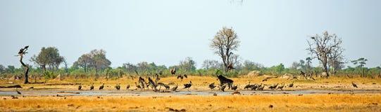 Actie waterhole met gieren en een sabelmarterantilope tijdens de vlucht wordt ingepakt die hen achtervolgen die royalty-vrije stock foto's