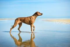 Actief atletisch hondpuppy die bij het overzees lopen stock foto