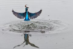 Actiefoto van een ijsvogel die uit uit water met vissen in zijn bek na een succesvolle visserij komen stock afbeelding