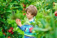 Actieve gelukkige blonde jong geitjejongen die en rode appelen op organisch landbouwbedrijf, de herfst in openlucht plukken eten  royalty-vrije stock afbeeldingen