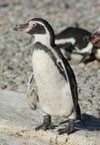Actieve Humbolt-pinguïn in Chester Zoo Stock Afbeelding