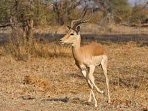 Actieve Impala Royalty-vrije Stock Foto's