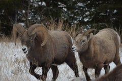 Acting the Goat, Jasper National park stock photos