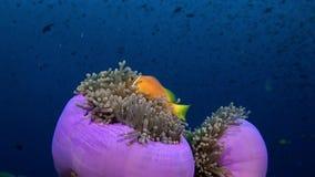 Actinia ветреницы и яркий оранжевый клоун удят на underwater морского дна Мальдивов сток-видео